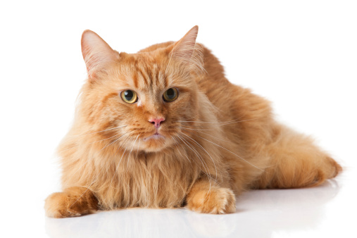 Maine-coon-cat-on-white-background.