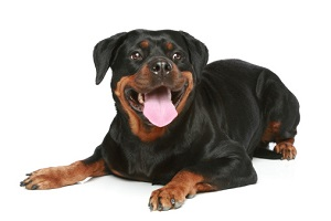 Rottweiler on a white background